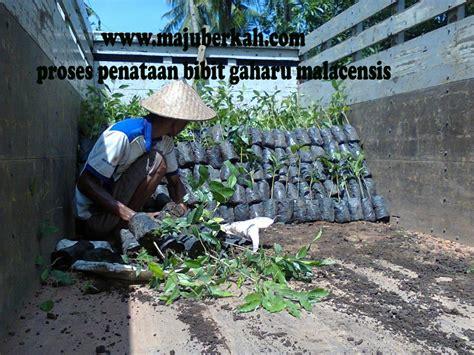 syarat membuat skck wonogiri cara perawatan tanaman kebun pisang animegue com