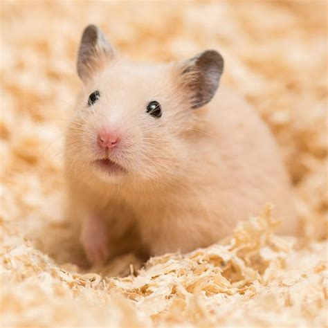 mobile hamster 25 best ideas about hamsters on mobile