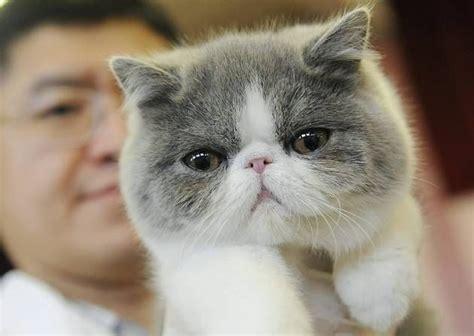 Sho Kucing Anggora cats www imgkid the image kid has it