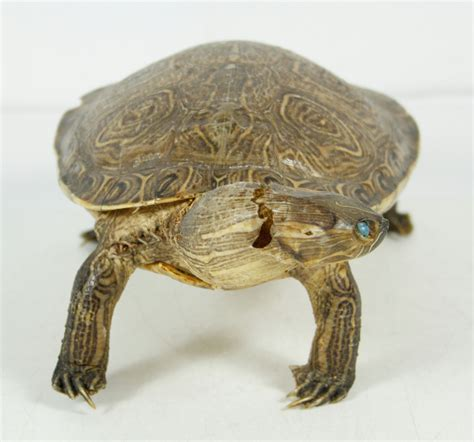 turtle decorations for home vintage real size taxidermy turtle rustic cabin home