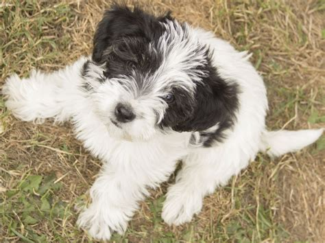 puppy for jackapoos puppies for sale southton hshire pets4homes