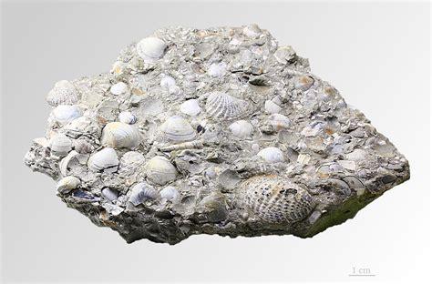 palaeoheterodonta wikispecies