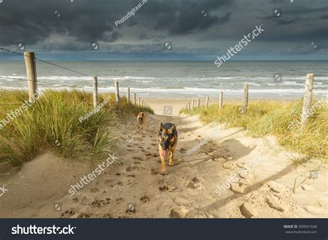 puppy heaving two heaving tired dogs german shepherd stock photo 509541928