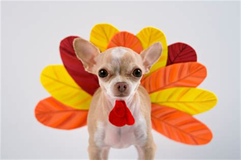 is turkey ok for dogs keep your pets safe this thanksgiving veterinarians ontario west