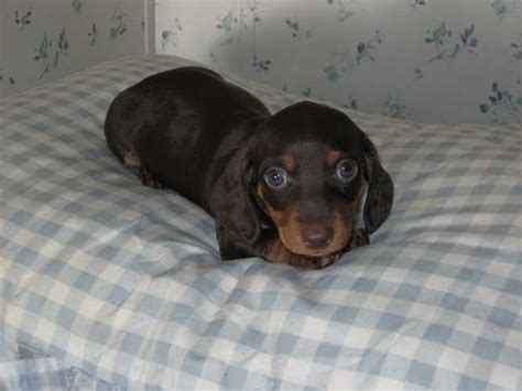 puppies for sale in jacksonville florida best 25 dachshunds for sale ideas on daschund puppies for sale weiner