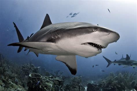 images of sharks shark senses how sharks work howstuffworks