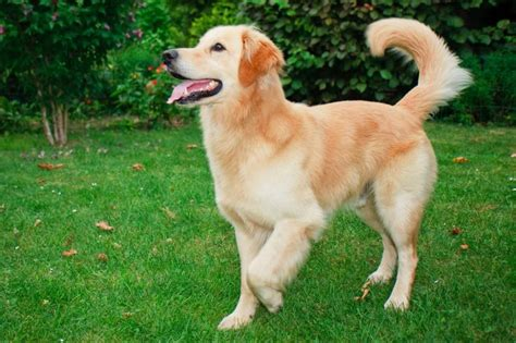 chion golden retriever choisir chien le golden retriever pratique fr