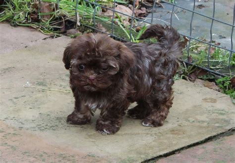 bolonka puppies russian tsvetnaya bolonka puppies clitheroe lancashire pets4homes
