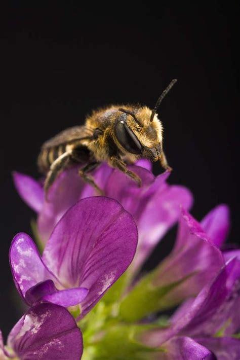 alfalfa leafcutter bee megachile rotundata