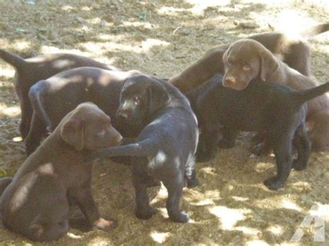 puppies for sale in apple valley ca labrador puppies chocolate for sale in apple valley california classified