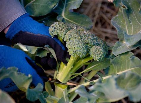 menanam brokoli secara hidroponik  pot polybag