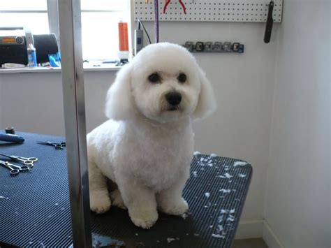 smith havanese 12 best images about all things havanese haircut on toys search and shirts