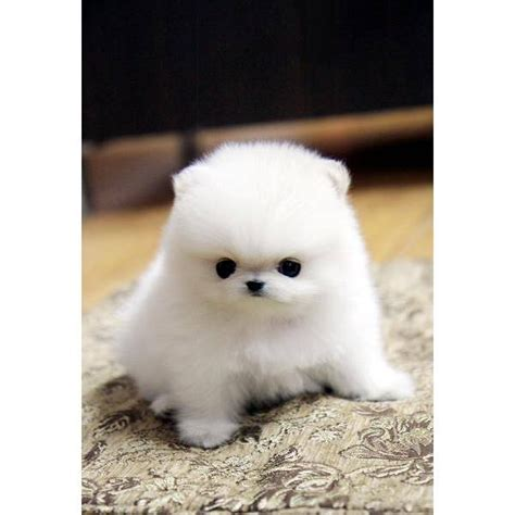 white fluffy teacup pomeranian puppies fluffy teacup pomeranian puppies teacup pomeranian