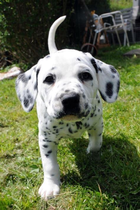 baby dalmatian puppies dalmatian baby things i