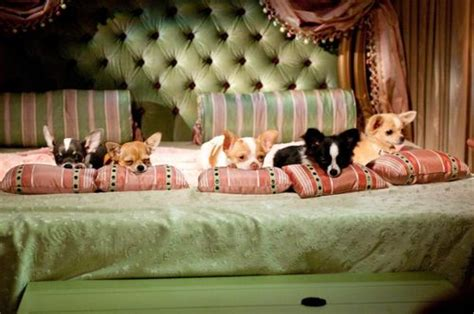 beverly puppies brianorndorf review beverly chihuahua 2