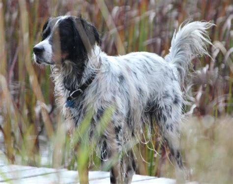 llewellin setter dogs for sale fine fdsb dna certified llewellin setter pups