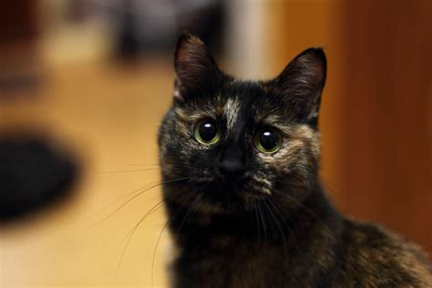 Brown Cat 2 brown and black tortoiseshell cat free image peakpx
