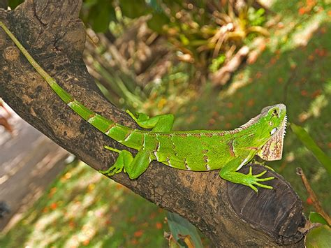 imagenes iguanas verdes gato55 blog iguana verde