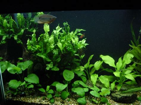 best low light aquarium plants low light aquatic plants google search aquarium plants
