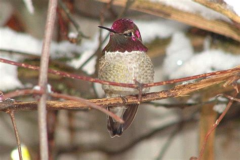 hummingbirds in winter where are they