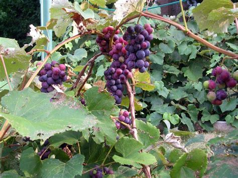 grapes growing on a vine www imgkid com the image kid has it