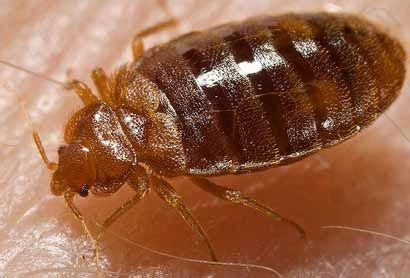 how are bed bugs created french researchers develop new bed bug collecting device