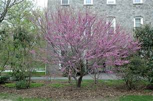 redbud ace of hearts live goods