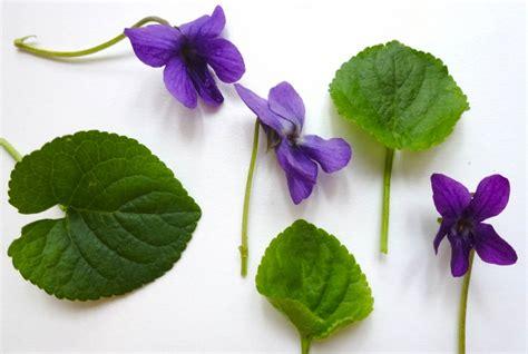 mammola fiore viola mammola viola odorata exploratori della