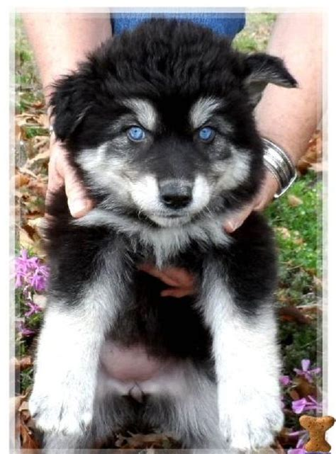 husky wolf mix puppies 25 best ideas about husky wolf mix on siberian husky siberian husky