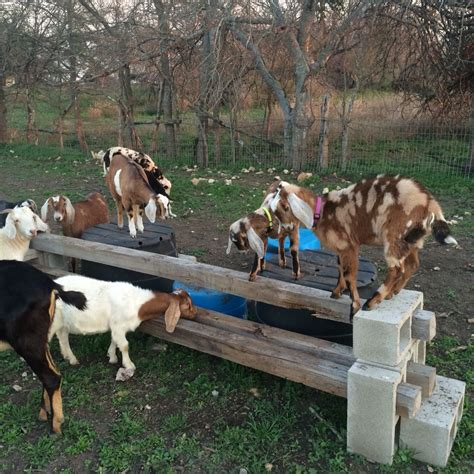 cutting goat games kids at play goats sheep and things pinterest goats