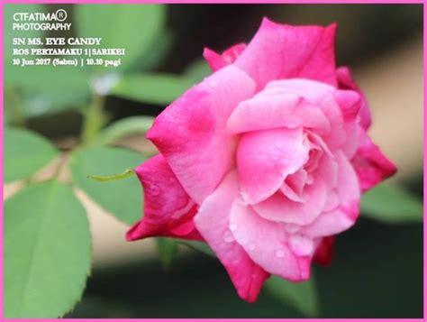 ct kebun fatima  pokok bunga ros pertama