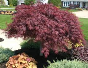 Home And Garden Design Show Santa Clara acer pal d crimson queen weeping japanese maple