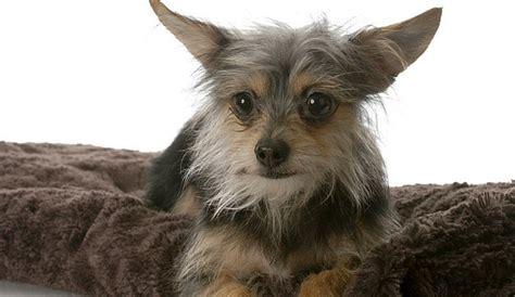 yorkie chihuahua yorkie chihuahua mix all about the fiesty chorkie 1 info