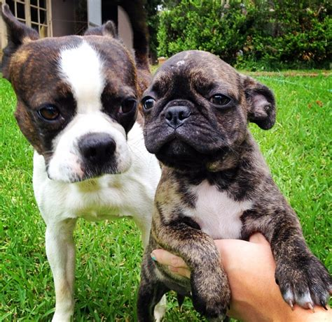 teacup pugs for sale australia bugg puppies for adoption www pixshark images galleries with a bite