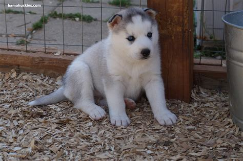 grey husky puppies puppy update 4 13 14 siberian husky puppies for sale
