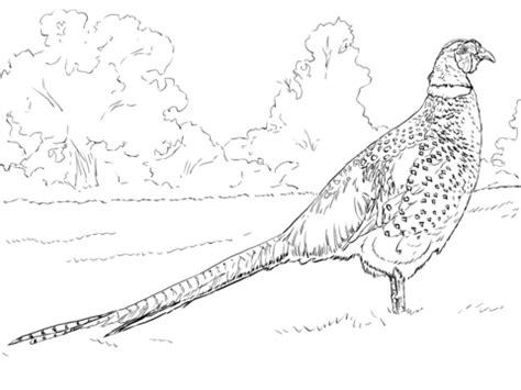 mongolian ringneck male pheasan coloring page