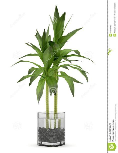 pianta di more in vaso pianta di bamb 249 in vaso isolato su bianco illustrazione di