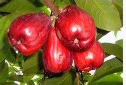 Bibit Pohon Jambu Bol cara menanam jambu bol jamaika anakciremai