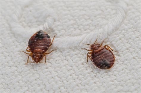 bed bugs en español how to know if you have bed bug bites