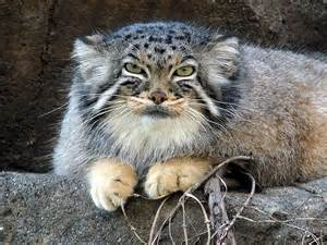 gallery for gt manul cat