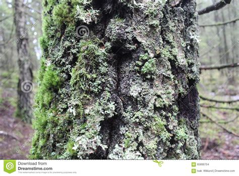 pine tree trunk covered in moss and lichen stock photo