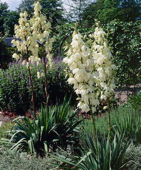 buy house plants now yucca 2 trunks bakker com buy hardy perennials now yucca bakker com