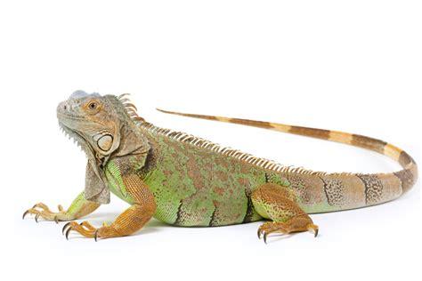 Designer Kitchen Scales how to trim iguana nails iguana claw trimming