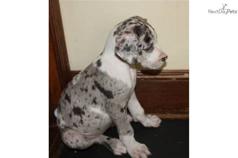 great dane puppies craigslist great dane puppy for sale in fayetteville breeds picture