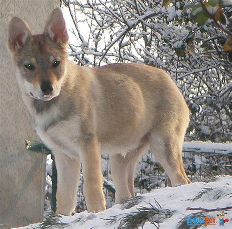 regalo cane lupo cecoslovacco cuccioli lupo cecoslovacco in vendita a piacenza pc