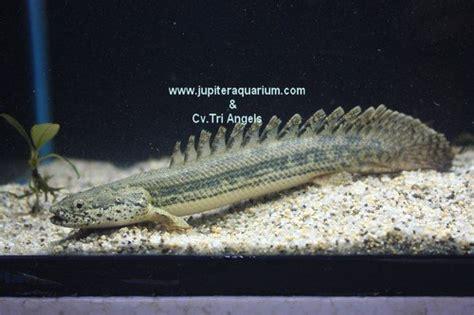 Aligator Spatula Platinum captive breed id 6961347 product details view captive breed from pt jupiter aquarium
