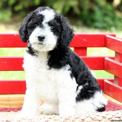 schnoodle puppies for sale miniature schnoodle puppies for sale in de md ny nj philly dc and baltimore