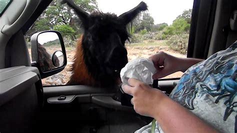 drive zoo texas drive thru safari in san antonio tx part 3 alpaca youtube