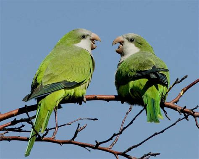 Parrot L by Monk Parakeet Audubon Field Guide