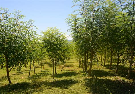 the trees the miracle of the moringa tree a child